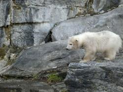 Eisbär  (55)