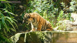 Tiger (13)