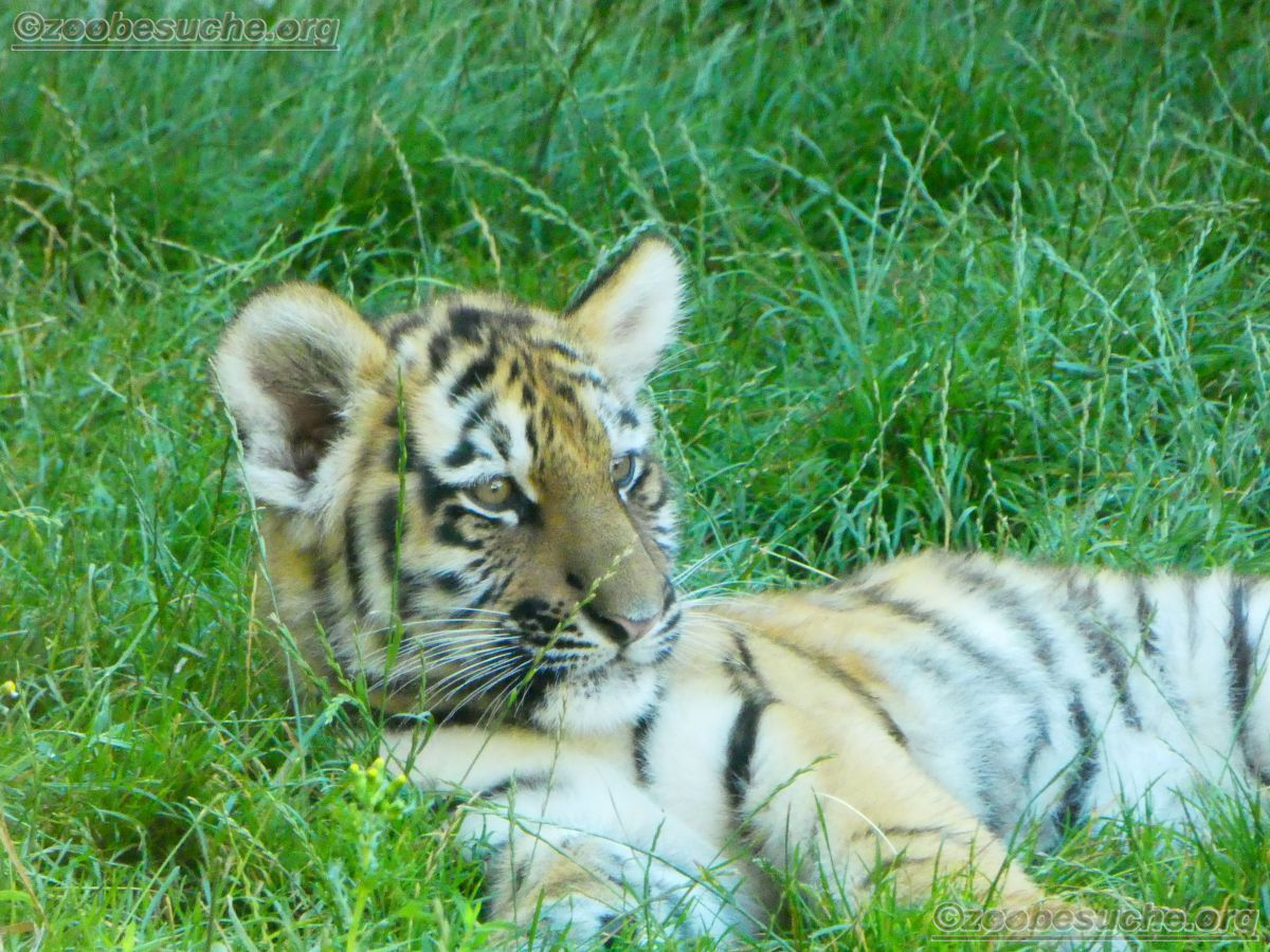 Tiger Jungtier (13)