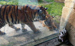 Wuschel mit Tiger Jungtier  (10)