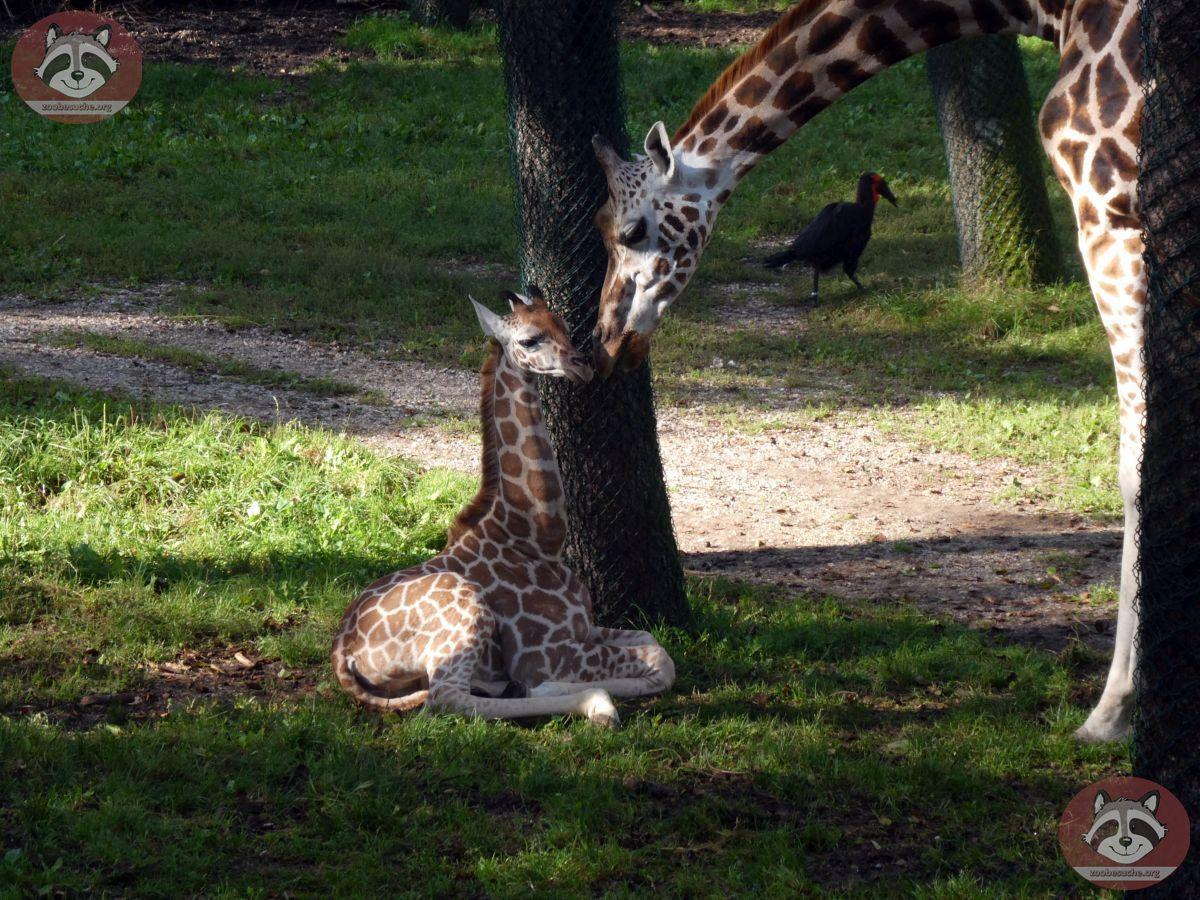 Giraffen (5)