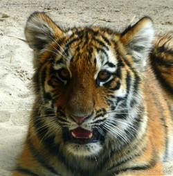 Tigerjungtiere  (20)