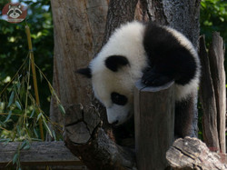 Panda Jungtier  (7)