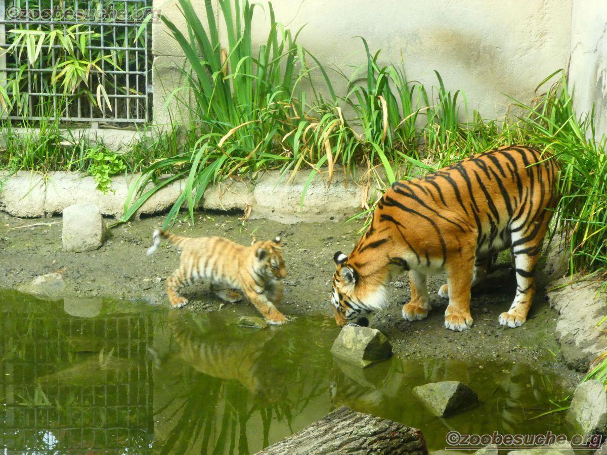 Tigerin Alexa  mit Jungtieren (13)