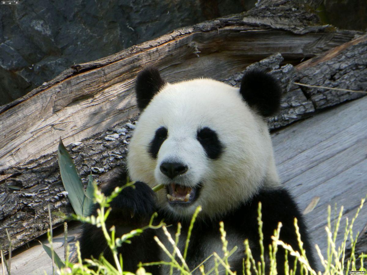 Panda  (249)