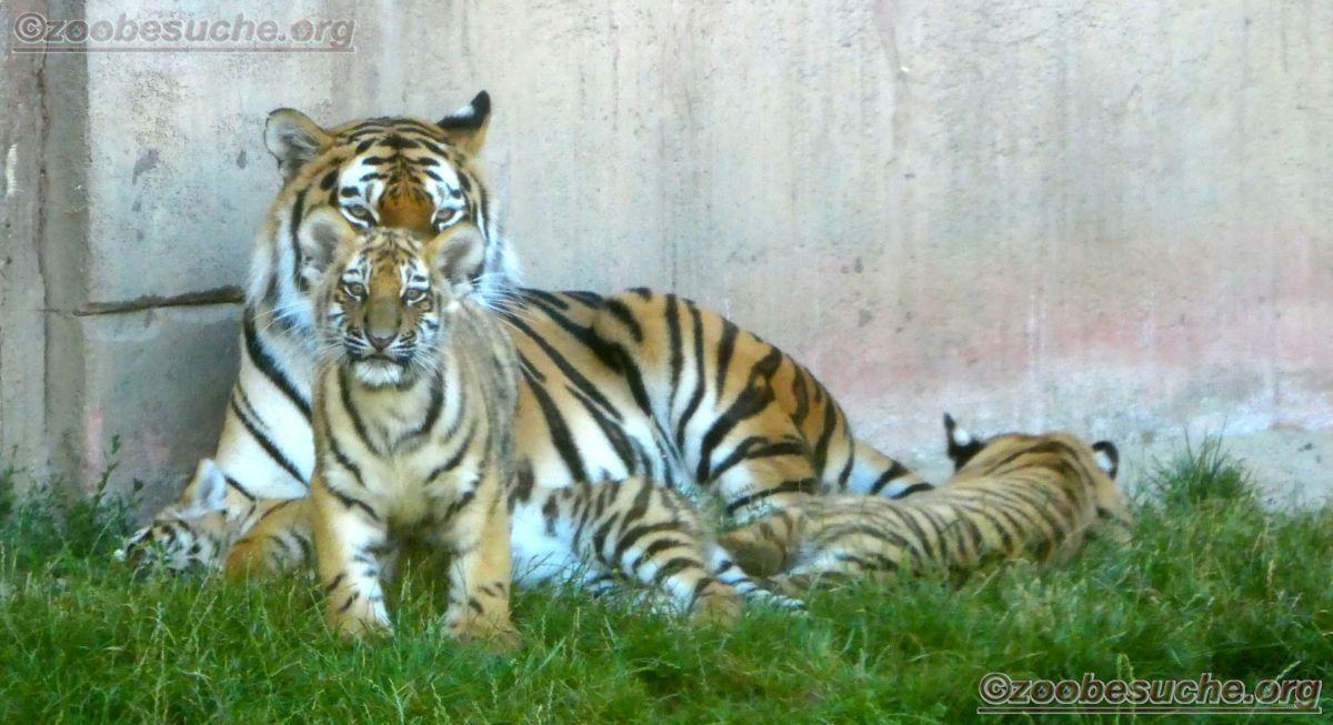 Tigerin Alexa mit Jungtier  (15)