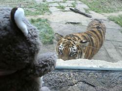 Tiger Jungtier mit Wuschel  (3)
