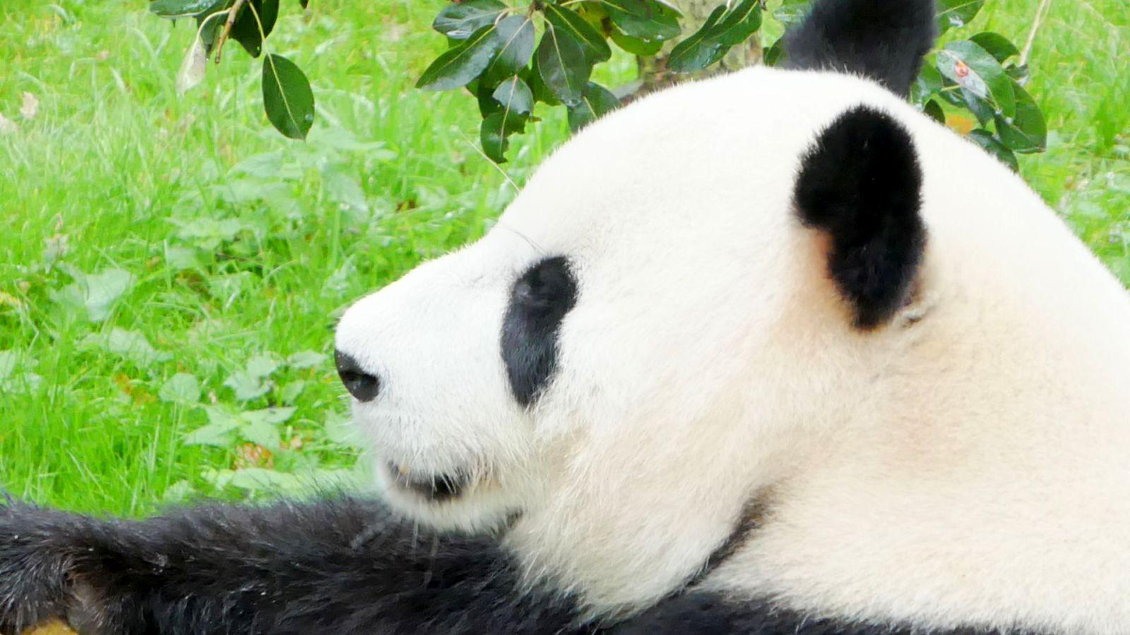 Panda  (23)