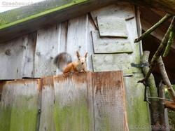 Sibirisches_Eichhörnchen__(3)