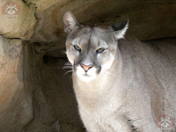 Puma (22)