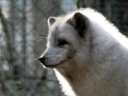 Polarfuchs  (7)