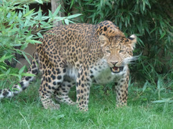 Leopard  (14)
