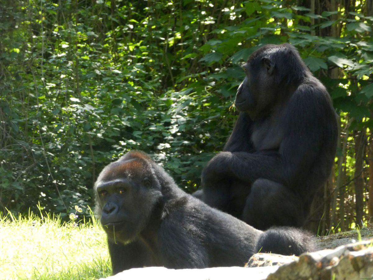 Gorilla  (5)