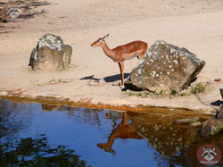 Gazelle (2)