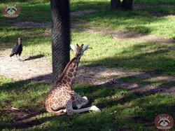 Giraffen (2)