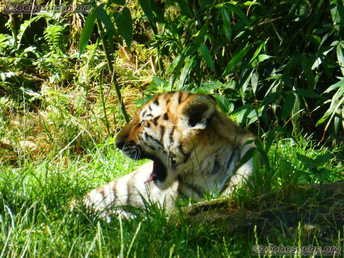 Tiger Jungtier (15)