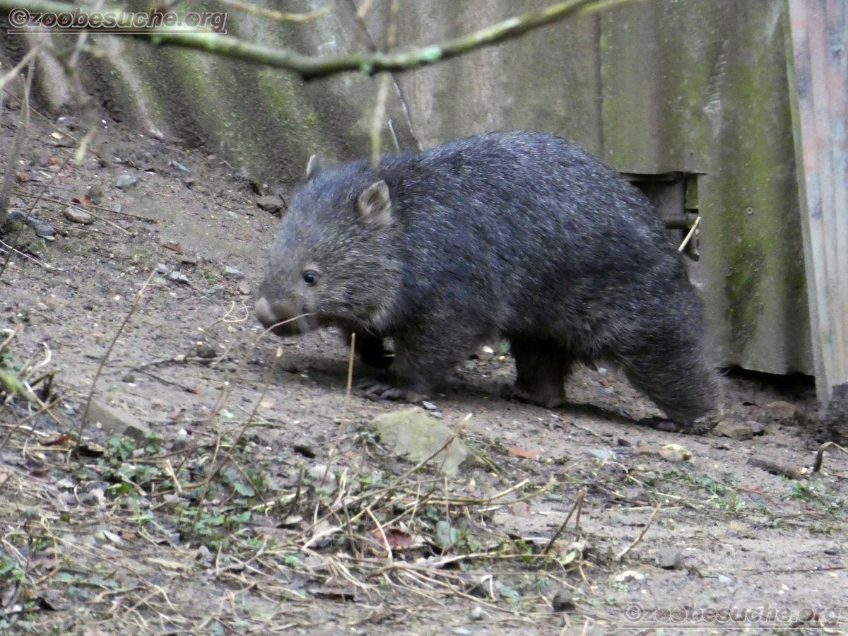 Wombat Maya  (5)