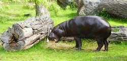 Zwergflusspferd  (6)