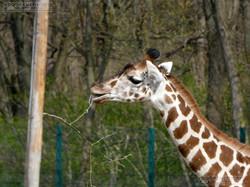 Giraffe  (4)