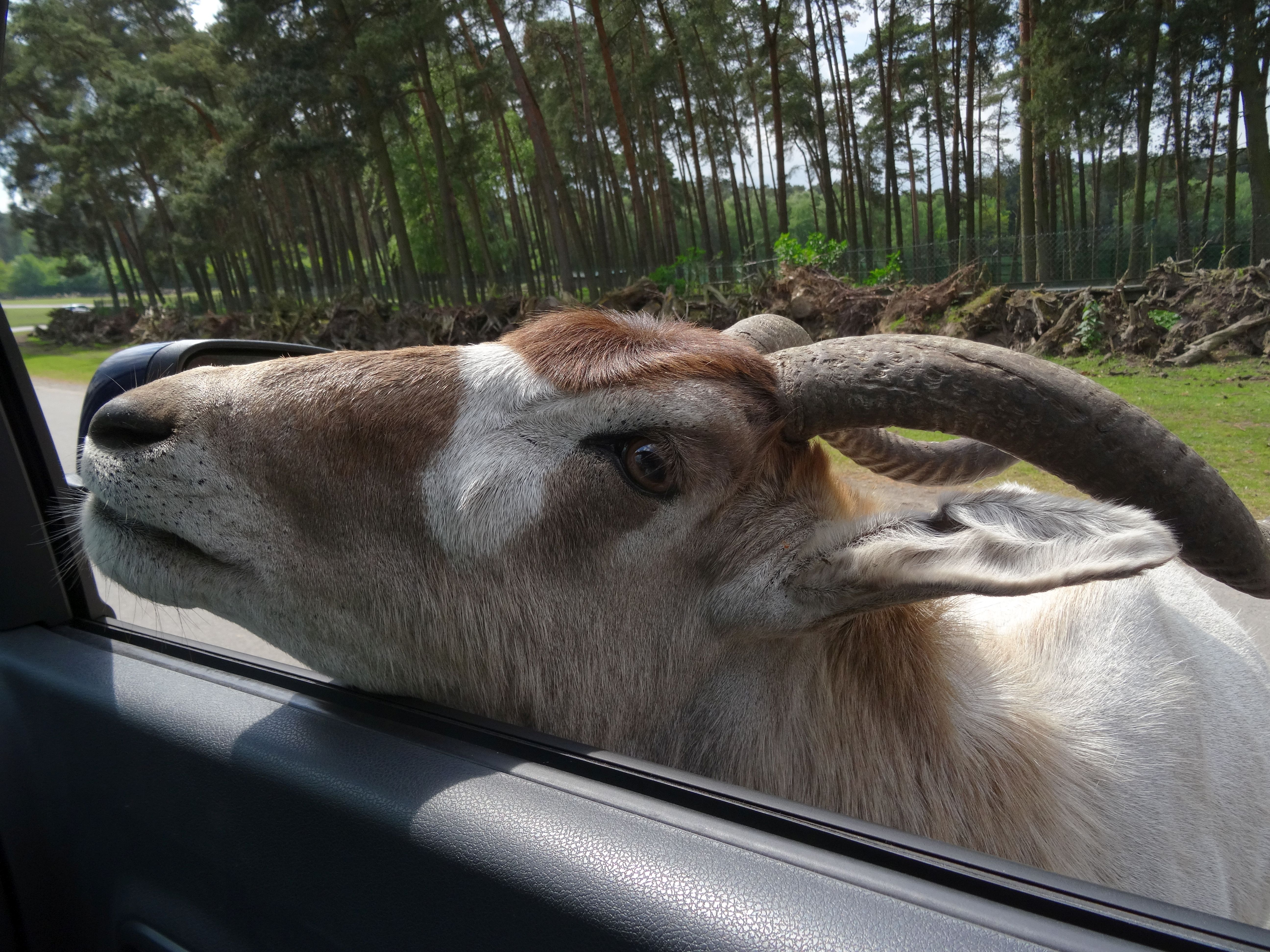 Gebogenes Horn  (2)