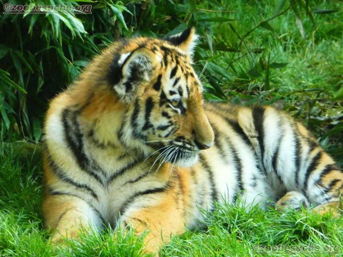 Tigerjungtiere  (28)