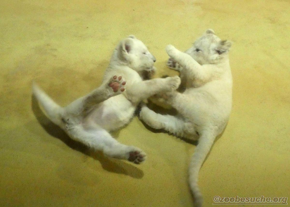 Weiße Löwen Jungtiere (17)