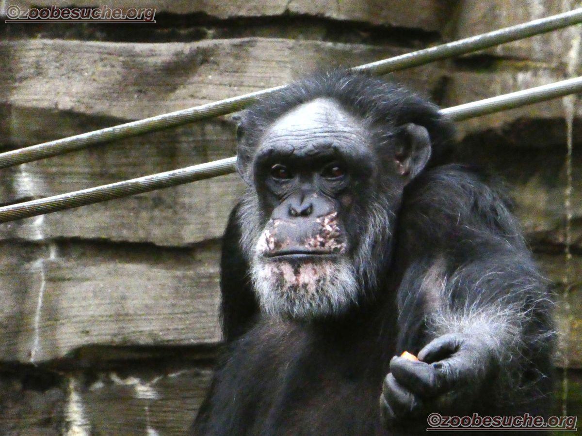 Schimpansen  (14)