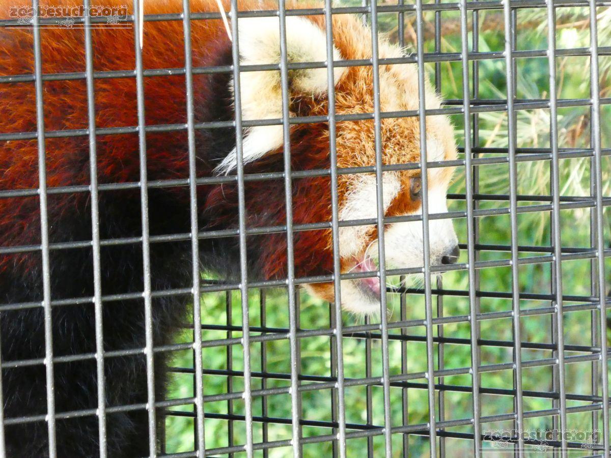 Roter Panda  (10)