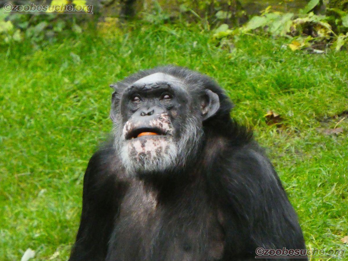Schimpansen  (21)