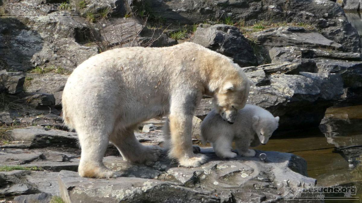 Eisbär  (91)