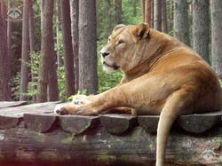 Löwen (4)