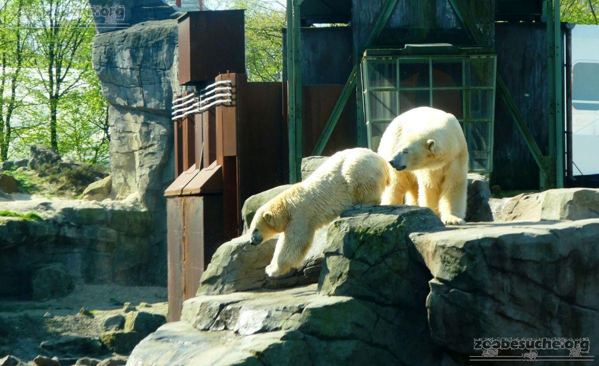 Eisbären_Milana_und_Sprinter__(37)