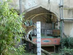 Leopard Julius  (28)