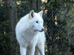 Hudson Bay Wolf  (2)