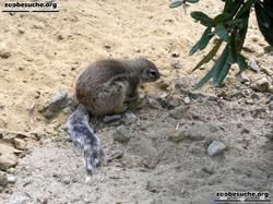 Kap-Borstenhörnchen  (1)
