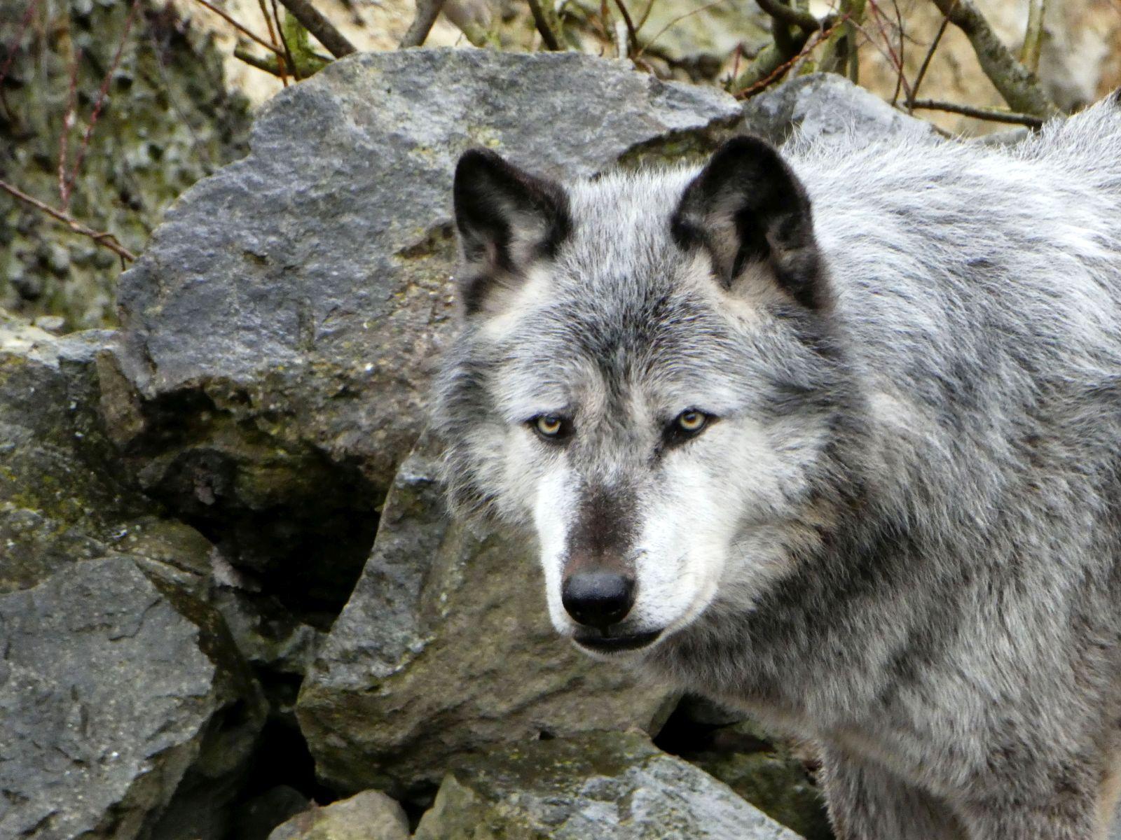 Timberwolf  (4)