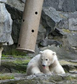 Eisbär  (22)