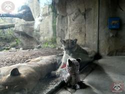 Puma mit Wuschel (1)