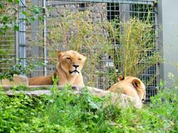 Löwen (1)