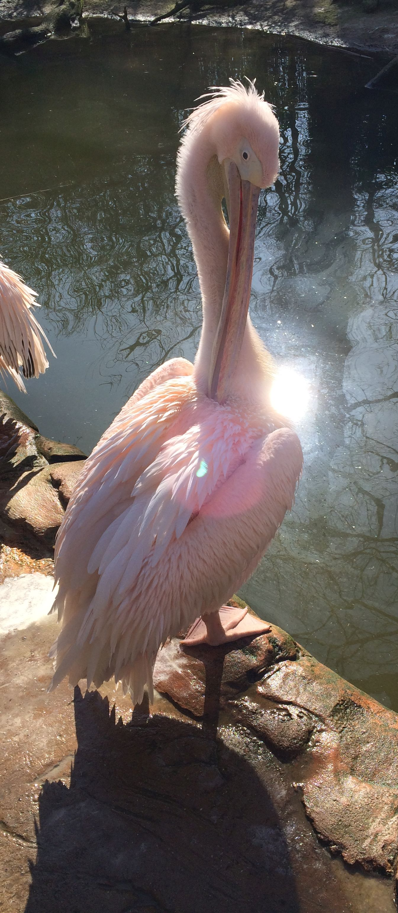 Pelikan  (8)