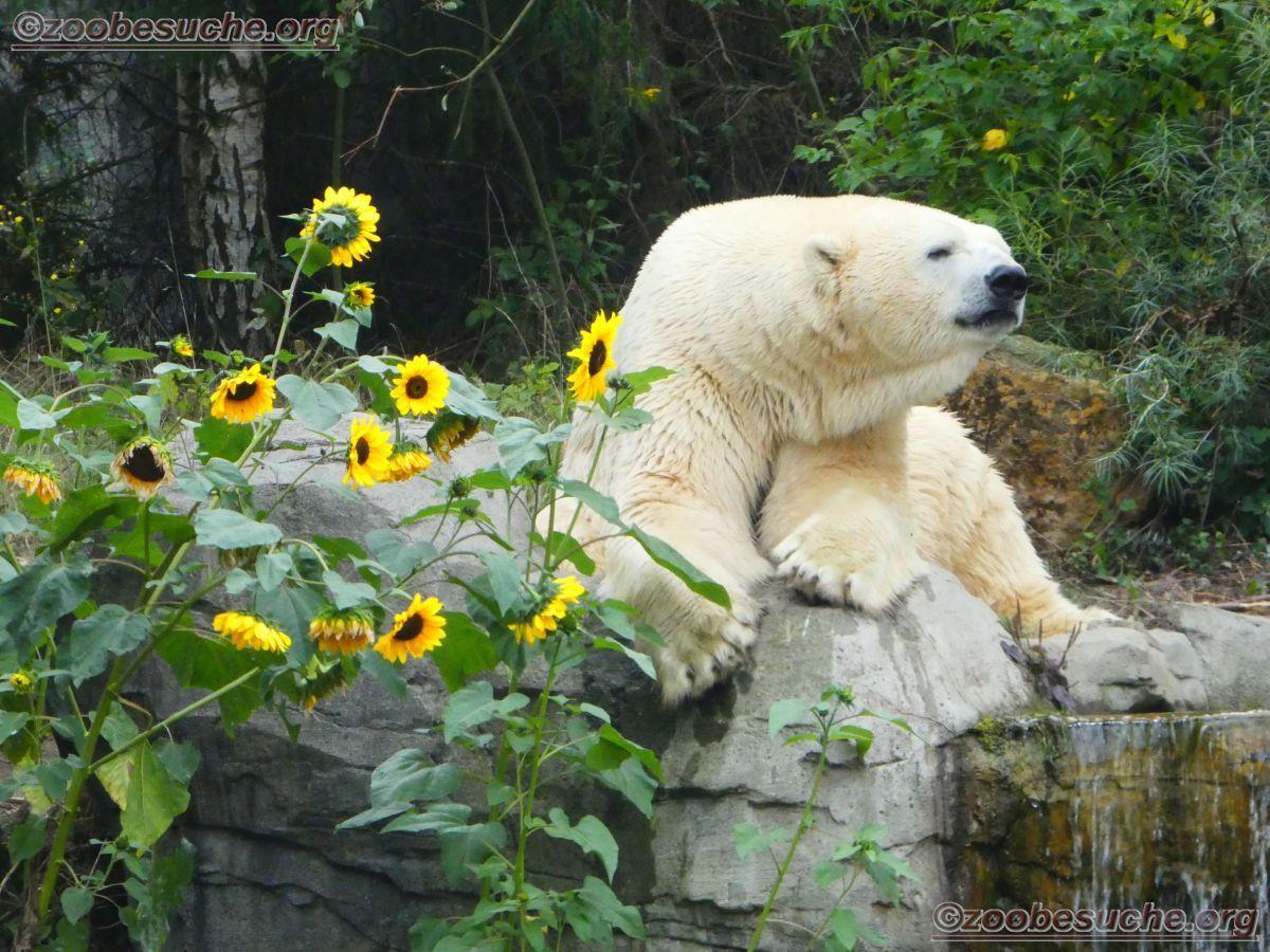 Eisbär Sprinter  (14)