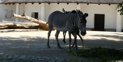 Zebra  (53)