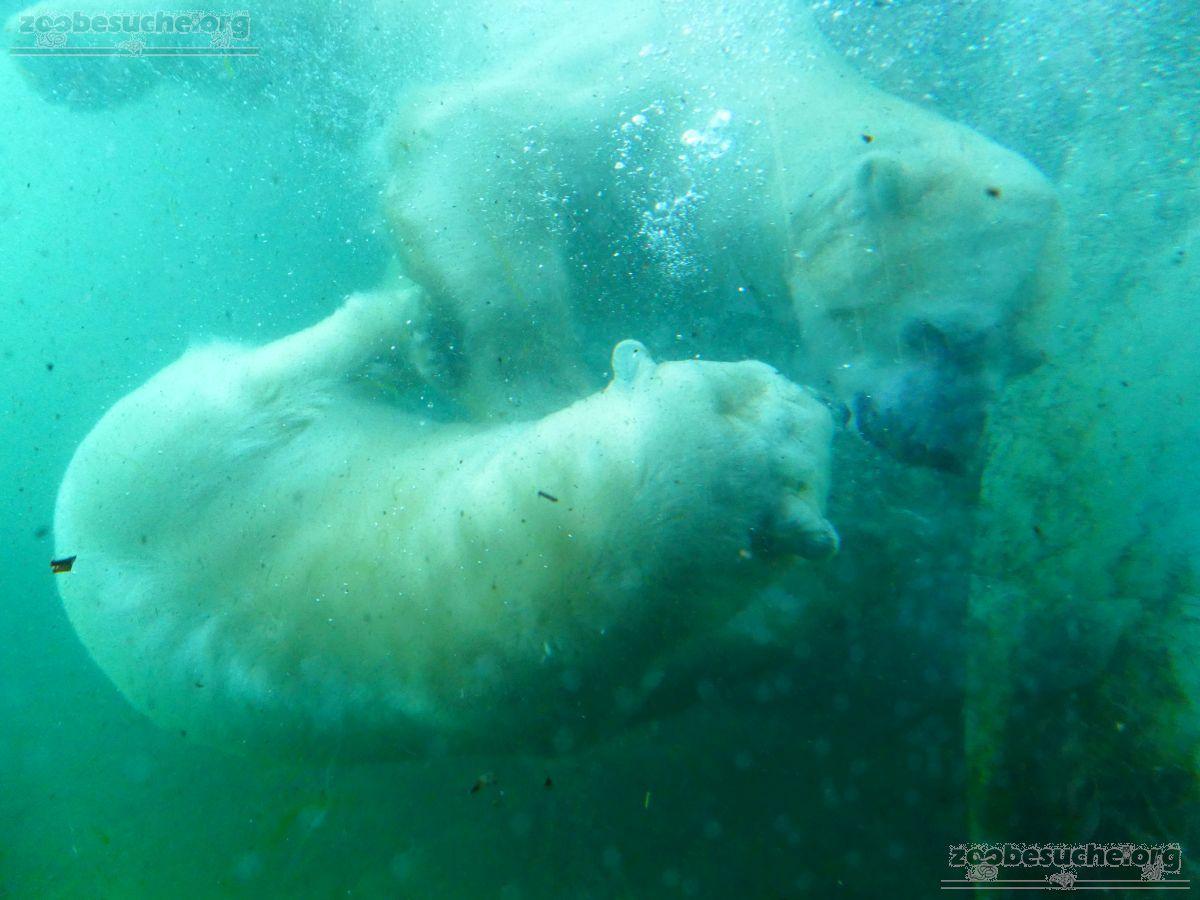 Eisbären_Milana_und_Sprinter__(33)