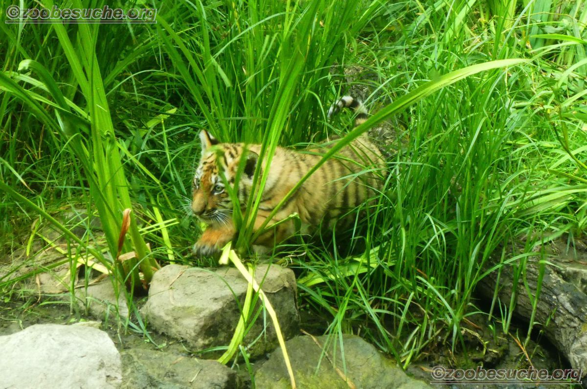 Tiger Jungtiere  (44)