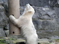 Eisbär  (14)