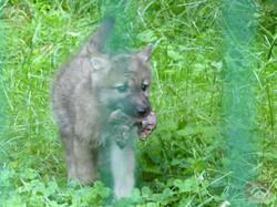 Polarwolf  (17)