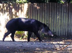 Mittelamerikanischer Tapir  (35)