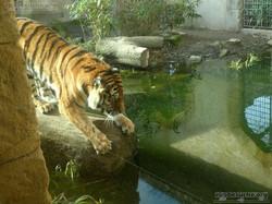 Tiger Aljoscha  (12)
