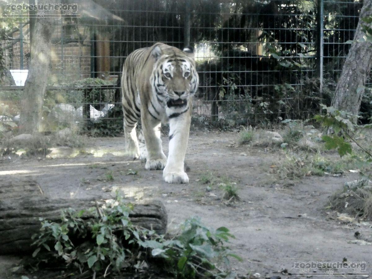 Tiger  (2)