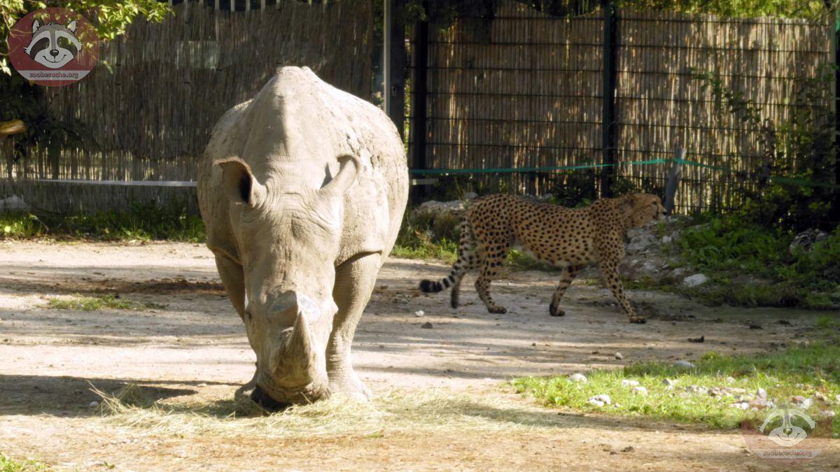 Gepard und Nashorn (6)